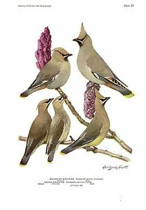 "1936 Vintage FUERTES BIRDS #89 /""BOHEMIAN CEDAR WAXWING/"" Color Plate Lithograph"