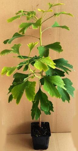 1 x Ginkgobaum Ginkgo biloba im Topf 35-40 cm