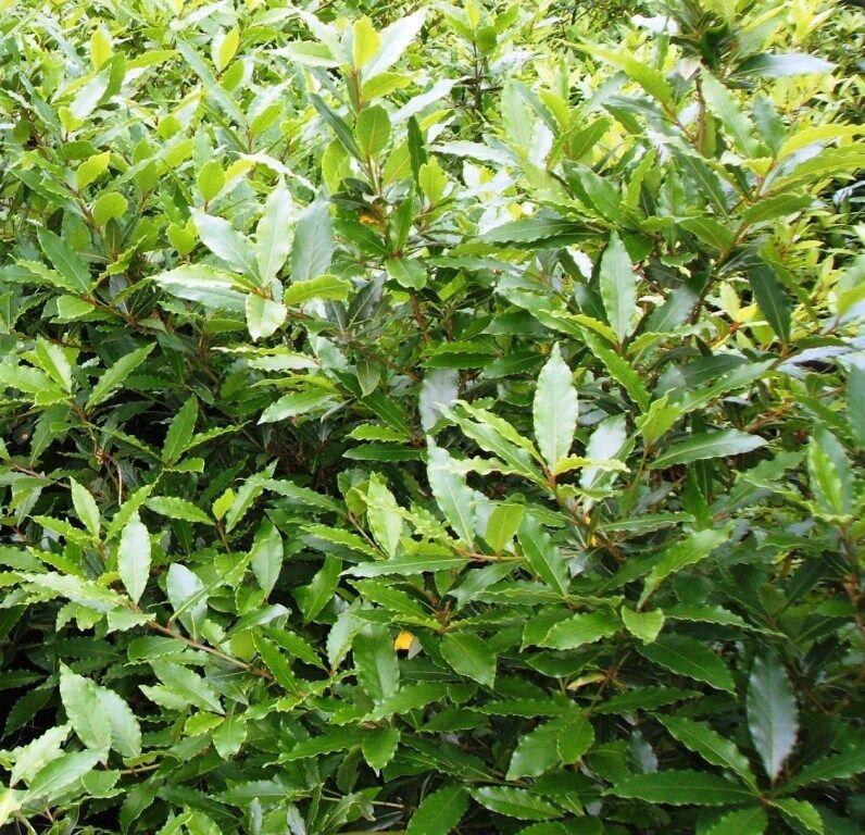 Lorbeerbaum 60-70 cm Echter Lorbeer Gewürzpflanze  Laurus nobilis vinter-hart )