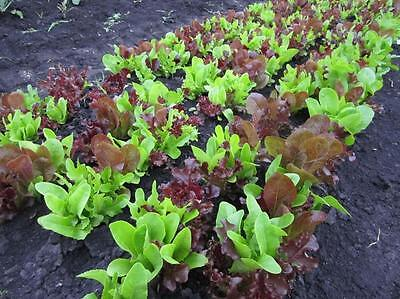 ORGANIC VEGETABLE  LETTUCE GOURMET LOOSELEAF CUTTING MIX   1000 SEEDS