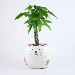 Image Is Loading Money Tree Indoor House Plant In Cat White