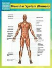 Muscular System (Human) (Speedy Study Guides) by Speedy Publishing LLC (Paperback / softback, 2014)