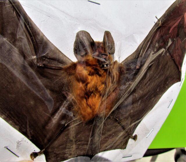 Lot of 10 Real Blyth's Horseshoe Bat Rhinolophus lepidus Spread FAST FROM USA