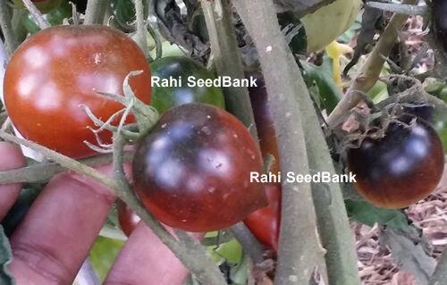 Beautiful Coloured Tomato! Blue Chocolate Cherry Tomato A High-yielding Rare