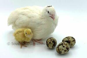 110 James Marie Farms Jumbo Brown Coturnix Quail Hatching Eggs