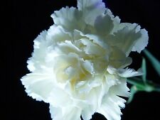 30 pure white carnation flower seeds perennial ebay item 2 new 30pure white carnation flower seeds perennial new 30pure white carnation flower seeds perennial mightylinksfo