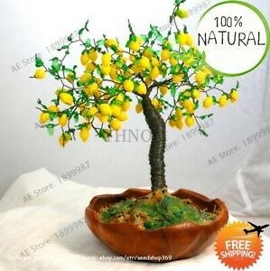 Lemon-Tree-Fruit-Seeds-Plants-Bonsai-Diy-Garden-Edible-Home-As-Green-20pcs