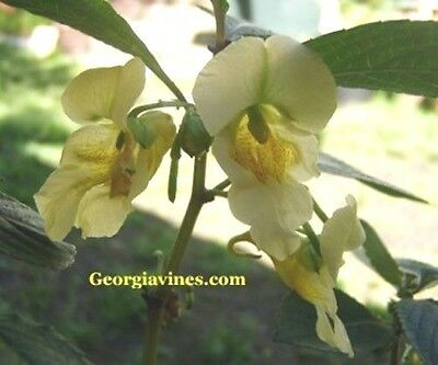 Impatiens scabrida Himalayan Jewelweed 10 seeds