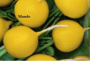 Rabanito Redondo Amarillo ( 100 Semillas ) Rabano Ferme En Structure