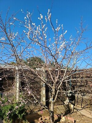8 Belle of Georgia Peach Tree Cuttings For Rooting And Grafting