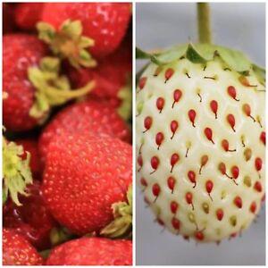 Erdbeere Samen Kombi Pack 2 Verschiedene Sorten Weiß Und Rot Ebay