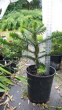 "Monkey Puzzle Tree - Araucaria araucana -  6 Year old plants! Now 18-24"" tall!"