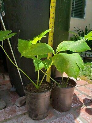 """ASHITABA PLANT PLANT 10-20 INCH AKA /""""TOMORROW/'S LEAF/"""""""