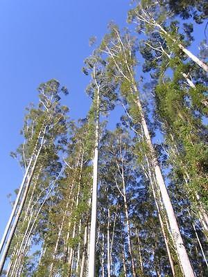 Eucalyptus grandis ROSE GUM - Unique Tree! SEEDS!