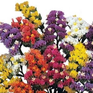 Statice-Seeds-Fortress-Mix-250-Flower-Seeds