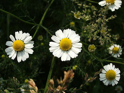 1000 GERMAN CHAMOMILE Herb Flower Seeds Gift /& CombS//H