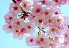10 JAPANESE CHERRY TREE Pink Cloud Oriental Sweet Prunus Serrulata Flower Seeds