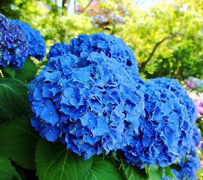 Rainrose Blue Hydrangea Orchid Ideal Garden Potted Seeds Rare Flower Plant Seeds