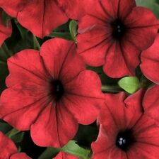 ~  Tidal Wave RED VELOUR * NEW * Trailing Petunia * 20 Pelleted Seeds * AAS