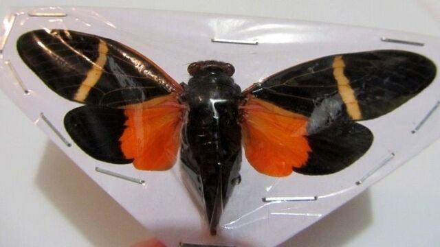 Tosena melanoptera Cicada Spread Taxidermy REAL Insect