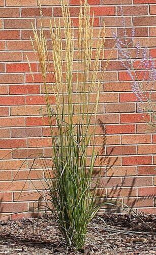 Calamagrostis x acutiflora Varieties Feather Reed Grass Seed Ornamental Hardy