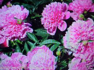 Large Color Princess Lite Pink Tree Peony Flower Seeds Usa Texas