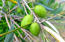 Live Ceylon Olive Plant Jolpai Plant