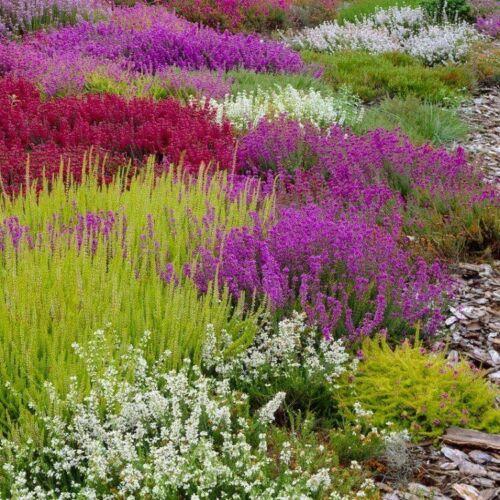 12-MIXED-HEATHERS-CALLUNA-amp-ERICA-VARIETIES-COLOURFUL-FLOWERING-PLANTS