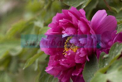 50 Rose Peony Rare China's Peony Seeds Paeonia Suffruticosa Flower Tree Plant