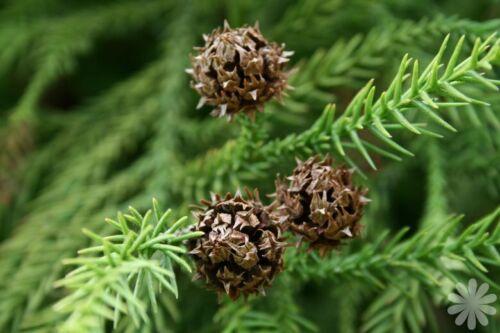 Cryptomeria japonica in 1L pot 40cm tall Japanese cedar