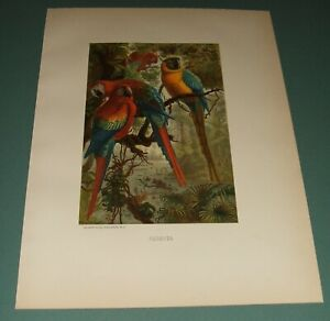 1885-Original-Parrots-Chromolithograph-Louis-Prang-amp-Co-Boston