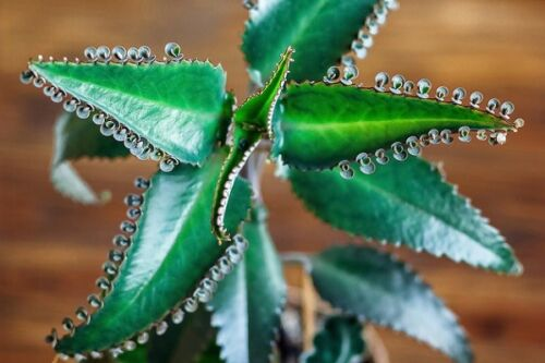 3 Medicinal Plant-Mother of Thousand organicly grown Kalanchoe Daigremontiana