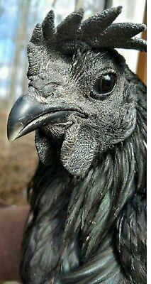 6 Ayam Cemani Pure Breed Hatching Eggs Totally Black Rare Exotic Beautiful Bird