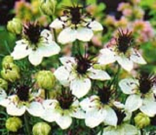 50+ NIGELLA LOVE IN THE MIST WHITE MISS JEKYLL FLOWER SEEDS / RESEEDING ANNUAL
