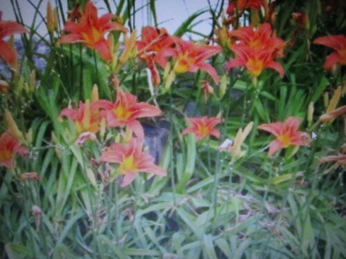 30 LG Orange Ditch lilies*30 ACTUAL PLANTS W// MULTIPLE BULBS ON EACH FREE SHIP