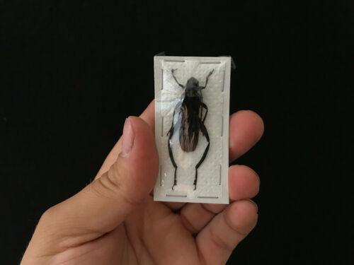 A1 noire Wasp mimic d/'Indonesie Insecte Entomologie Cerambycidae Scalenus sp