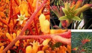 Chambre Fleur feuilles persistantes hautes en couleur navigable exotique graines Kangourou-PATTE  </span>