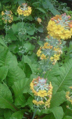 Perennials 50+ Seeds Primula bulleyana Candelabra Primrose