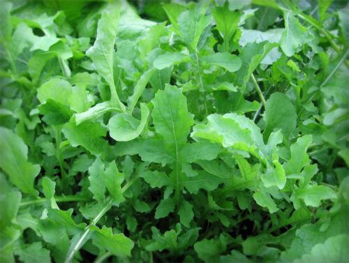 Arugula Diplotaxis erucoides Olivetta Herb seed from Ukraine