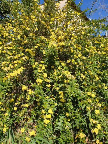 Gelsomino D/'inverno  Jasminum Nudiflorum Lindl 10 Tallee.