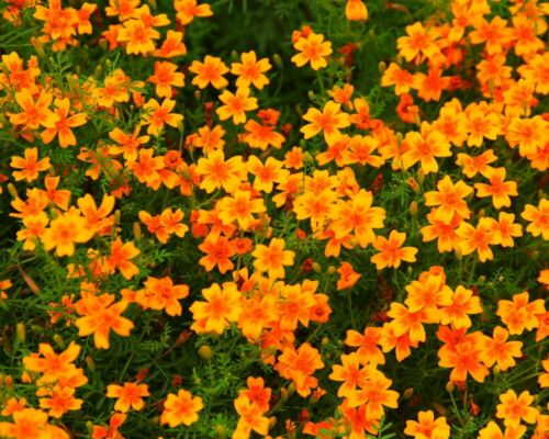 * Tangerine Gem Tagetes tenuifolia mandarino-arancio Portaspezie Tagetes semi