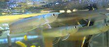 WILD-CAUGHT Silver Arowana - Osteoglossum Bicirrhosum - Freshwater Live Fish
