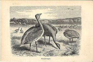 Stampa Antica Uccello Otarda 1891 Old Antique Print