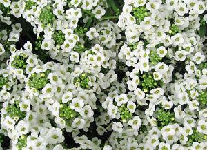 Alyssum-Seeds-Sweet-White-Ground-Cover-Seeds-Bulk-Seeds-Heirloom-Seed-500ct