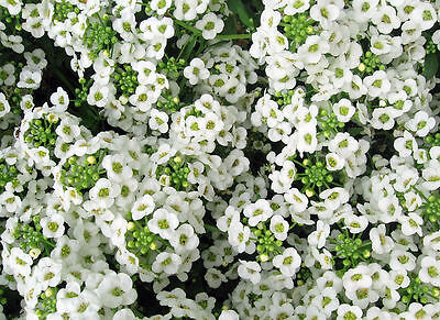 Alyssum Seeds, Sweet White, Ground Cover Seeds, Bulk Seeds, Heirloom Seed, 500ct
