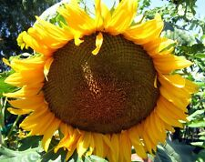 Giant Grey Stripe Sunflower 25 seeds * Big seeds * Edible * Screening L43