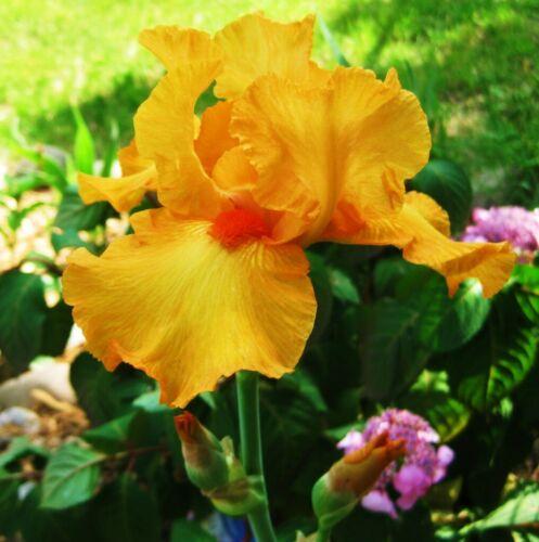 2 Bearded Iris Bulbs Perennial Resistant Flower Hardy Blue Reblooming Fragrant