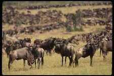 077038 Wildebeest Serengeti Migration A4 Photo Print