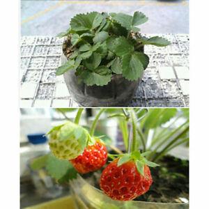 100pcs-rote-Erdbeere-Klettern-Erdbeer-Samen-Klettererdbeeren-Haenge-Erdbeere