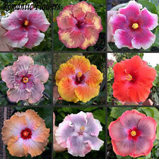10 Particle Bag Giant Hibiscus Flower Seeds Garden Home Perennial Potted